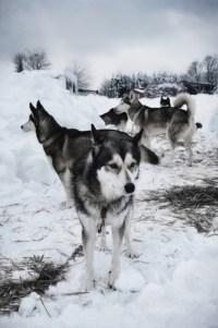 huskies ready to run