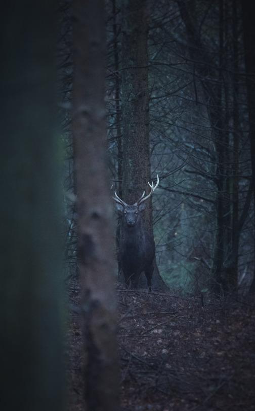 stoic deer in the woods