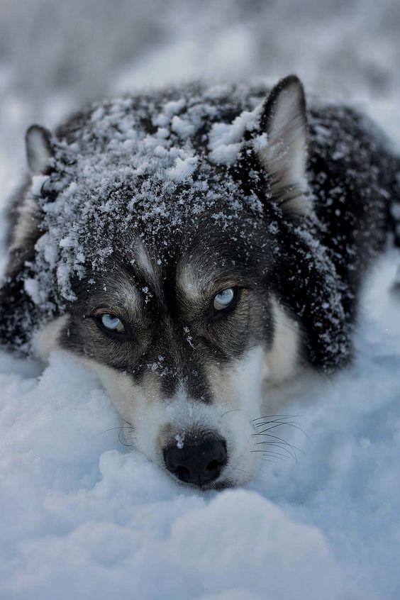 blue eye wolf in snow
