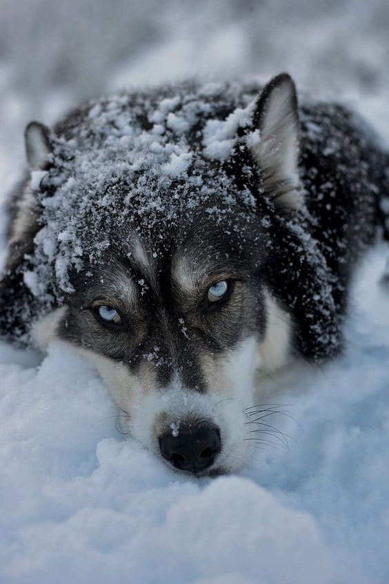 blue eye wolf in snow