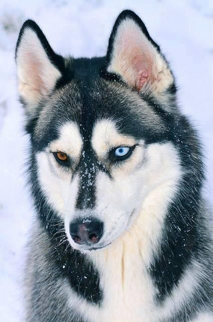 handsome husky with one blue and one brown eye