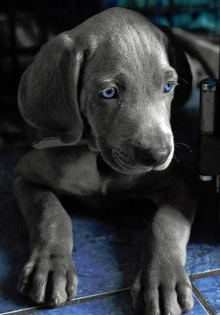 blue eye puppy