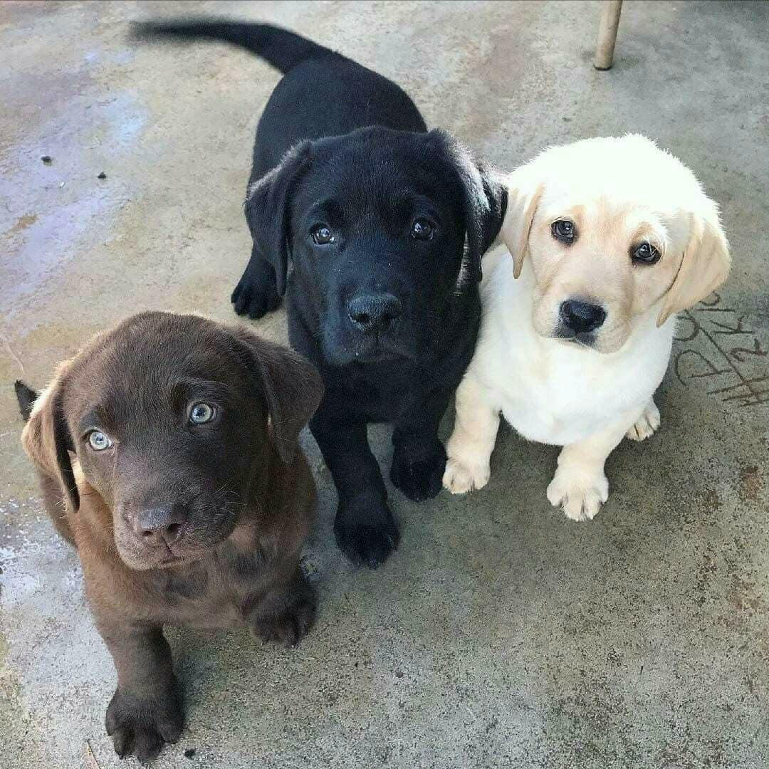 three lab puppies