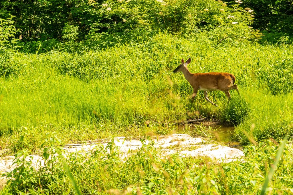 Whitetail doe passing a stream.