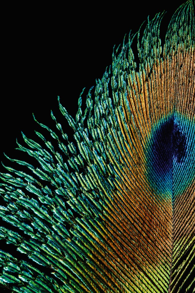 Indian Peafowl (Native to South Asia, but introduced throughout the world)Pavo cristatusThe male birds—more commonly known as Peacocks—may well be one of the world's most recognizable birds. Their extravagant tail feathers, made up of elongated upper tail coverts, are some three times longer than the length of the bird itself. Their iridescent plumage is an example of structural color—the feathers are actually brown, but their structure interferes with light, making them appear blue, green, and turquoise.