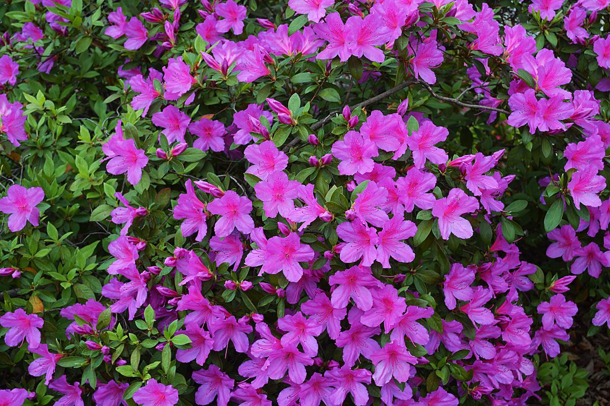 Februarys Gainesville Landscape Plant Formosa Azalea