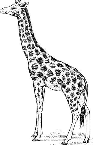 Giraffe Malvorlage - kostenloses Malbild