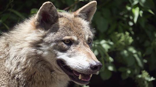 wolf looking focussed