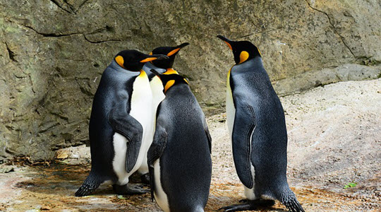 Four emperor penguins on a rock