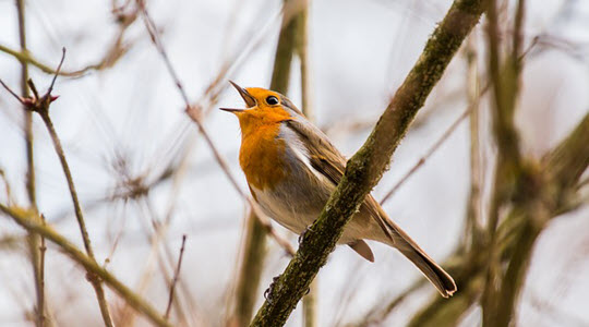 A robin singing on a branch