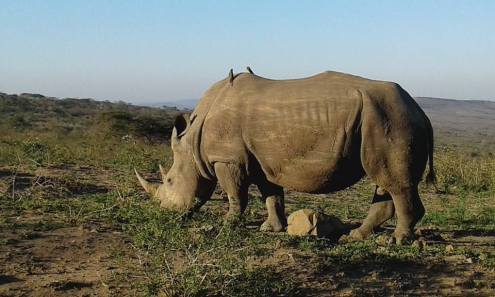 Two birds clean ticks from the back of a white rhino grazing in Imfolozi Game Reserve