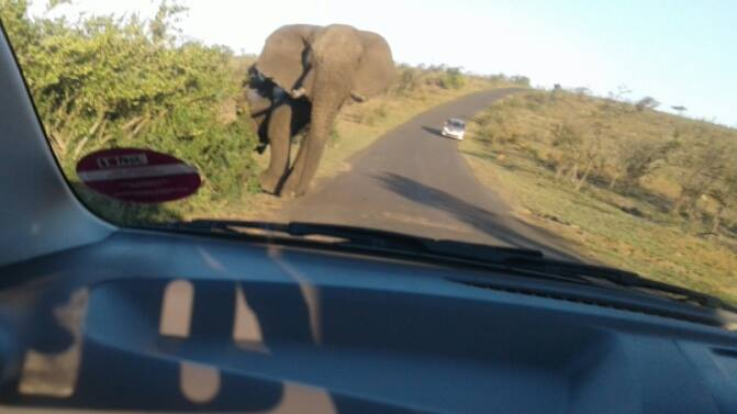 Bull elephant emerges from behind a huge shrub only feet in front of our car.