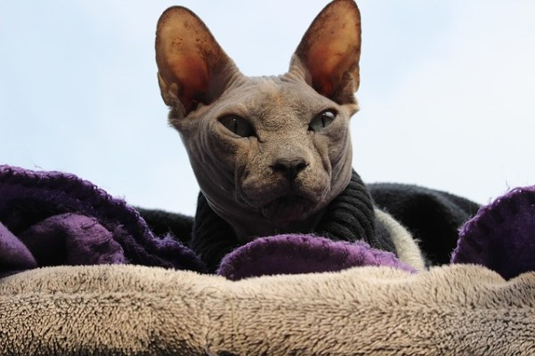 Ancient and revered, the Sphynx cat is legendary enough to make our list of the top manliest cat breeds in the world. Can you handle this fearsome feline?