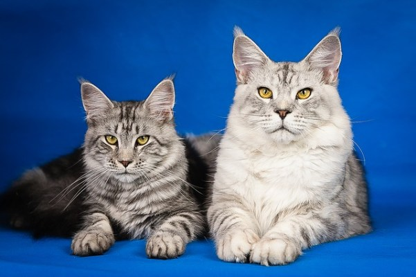 Want a cat that's bigger than a small child? The Maine Coon looks intimidating, but it's actually a gentle giant.