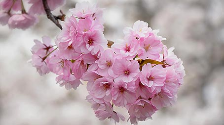 Hd Wallpapers Pack For Windows 10 Cherry Blossom Theme For Windows 10 8 7
