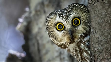 Hd Nature Wallpaper Pack Owl Theme For Windows 10 8 7