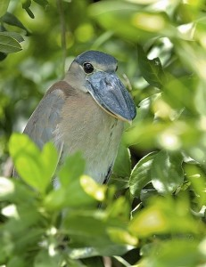 Boat-Billed Heron at Mayakoba, Riviera Maya, Mexico