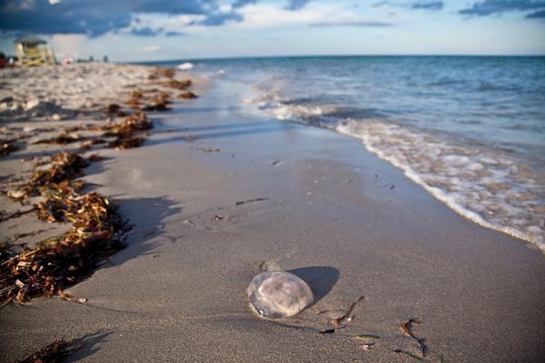 Jellyfish begin seasonal invasion of South Florida coastline  The Miami Hurricane