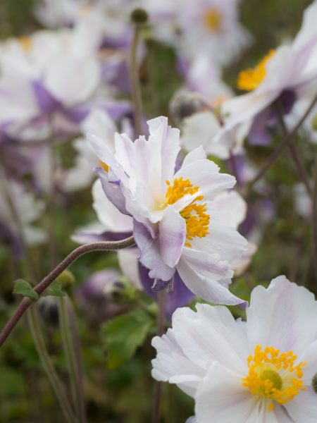 Japanese anemones for windy gardens