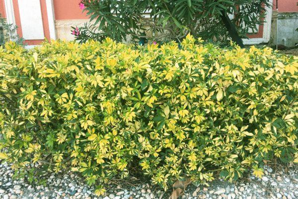 Schefflera hedge