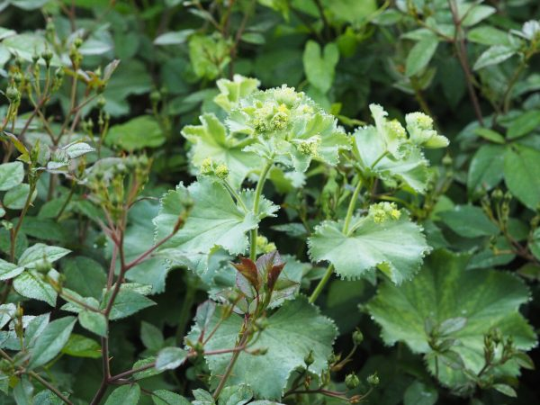 Alchemilla mollis is an easy green self-seeder.