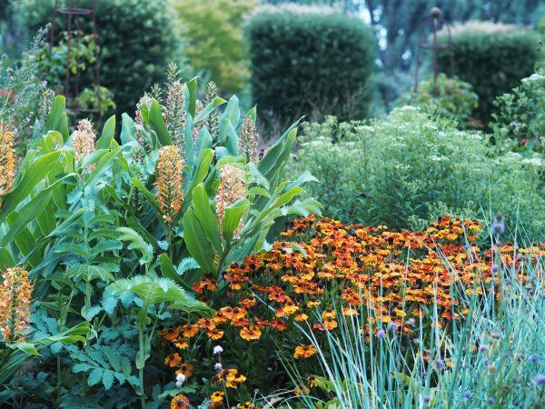 Late summer garden colour - ginger lily and helenium
