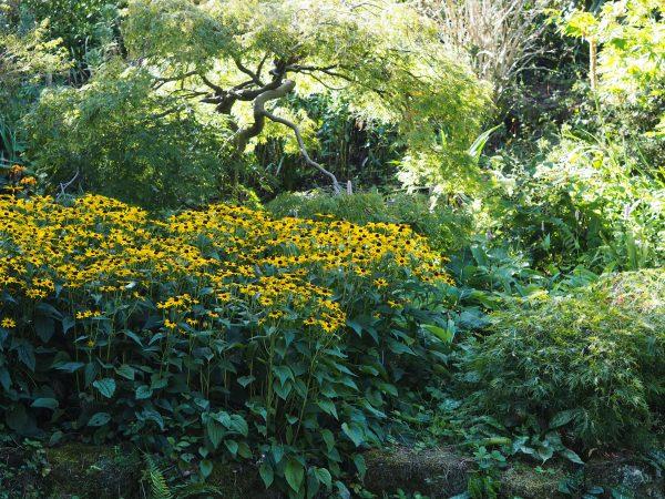 Rudbeckias in shady woodland.