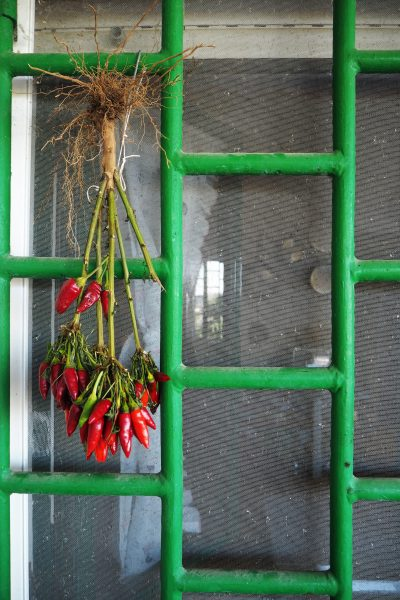 Dry chillies by hanging the plant upside down