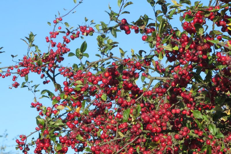 Malus 'Gorgeous' is a good choice for middlesized winter gardens
