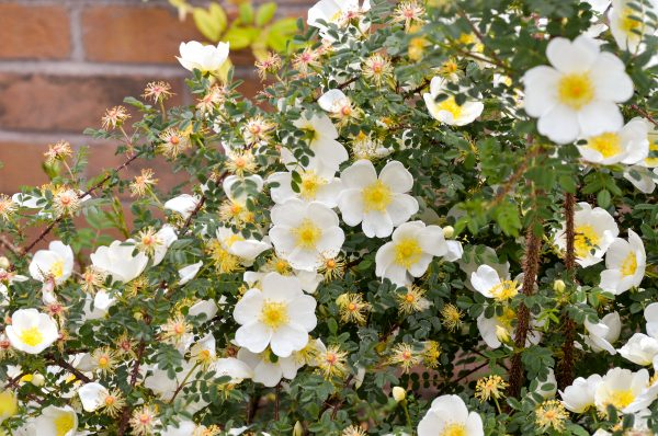 Dunwich rose from David Austin - for windy or exposed gardens.