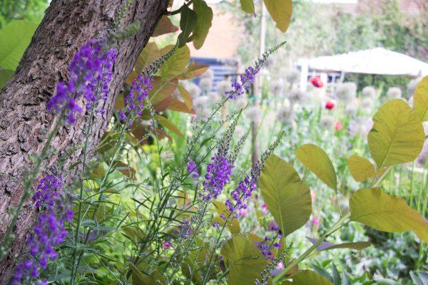 Purple loosestrife in the garden