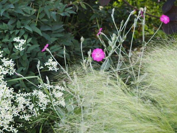 Lychnis coronaria self-seeds vigorously
