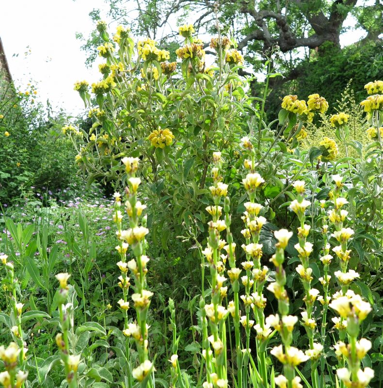 Phlomis and sisyrinchium