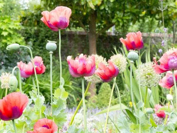 The common poppy or Papaver rhoeas self-seed easily.