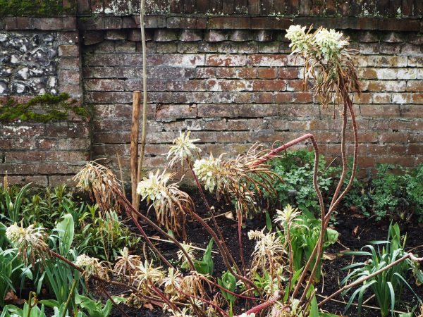 Euphorbia with winter damage