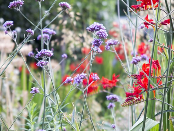 Verbena bonariensis and Crocosmia 'Lucifer' add height to a border.
