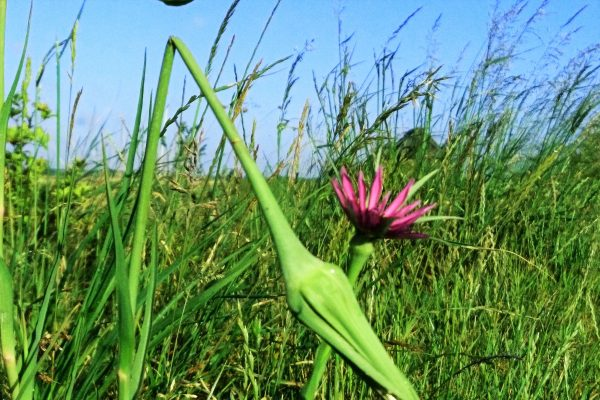 Salsify on Oare marshes - the wind and the birds bring it to our gardens