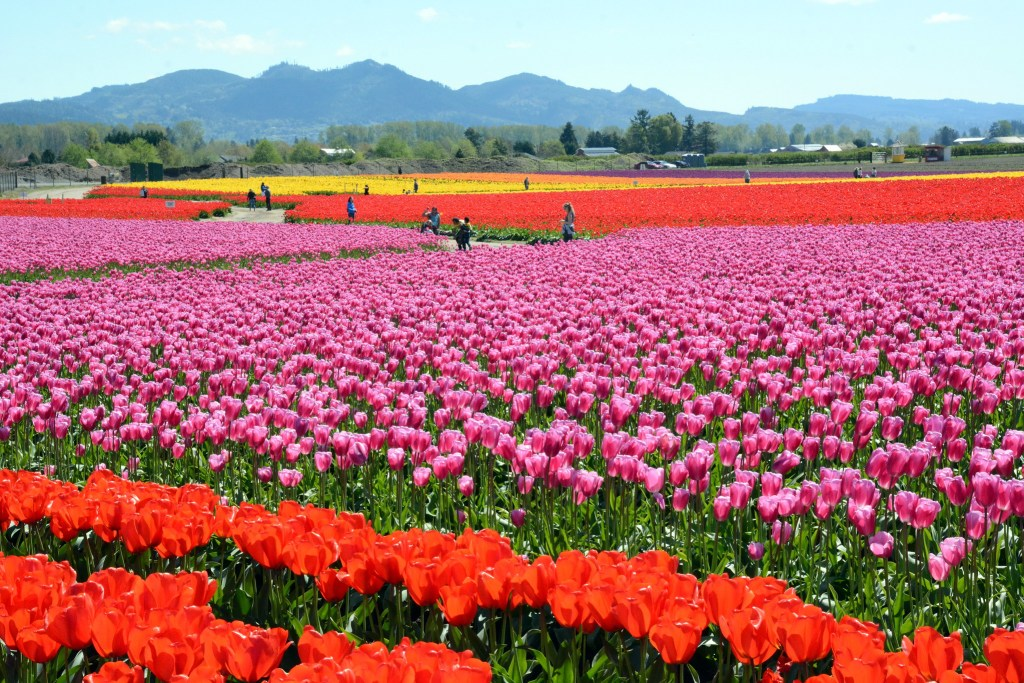 Tulip fields in Skagit Valley, Washington, USA in springtime.