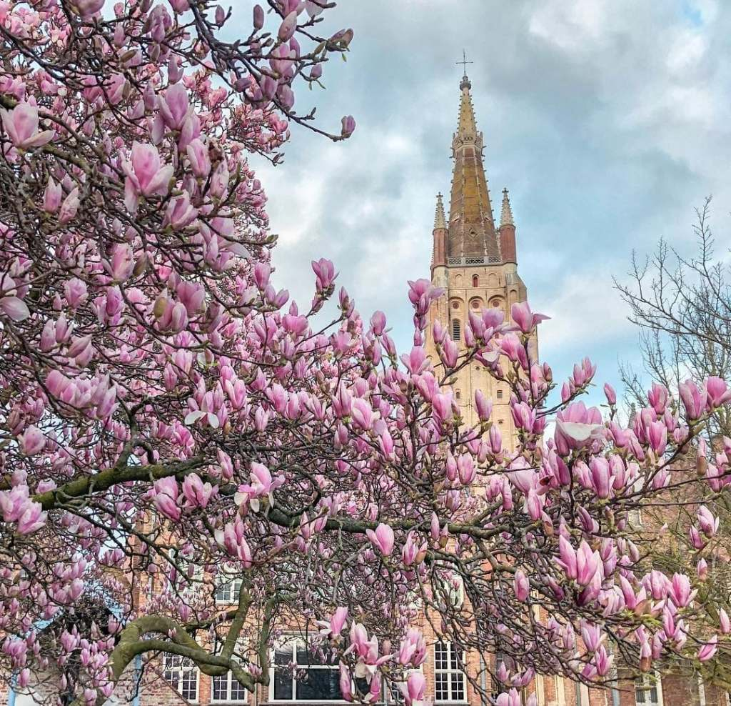 Top of St. John's Hospital seen through flowering trees, a classic historic landmark in Bruges.