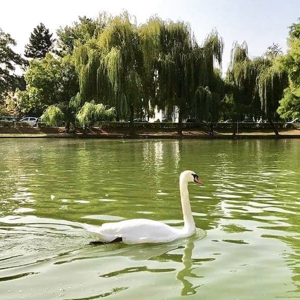 Large swan in a pond in Central Park, Cluj-Napoca, Romania