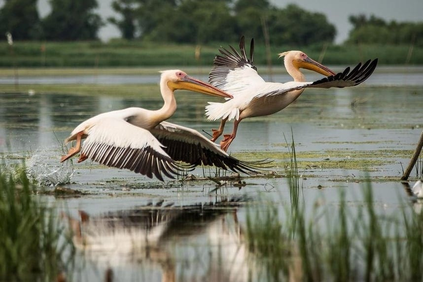 Pelicans taking off from the water at the Danube Delta, Romania