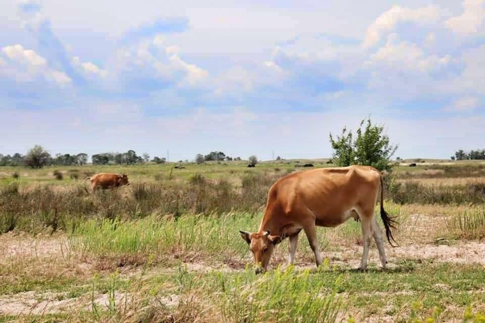 Cattle grazing in the Danube Delta grasslands