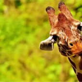 Interesting Facts About the Giraffe!
