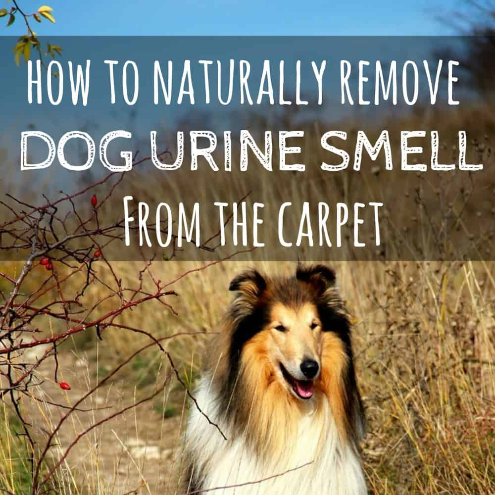 how to remove dog urine smell from carpet naturally. Black Bedroom Furniture Sets. Home Design Ideas