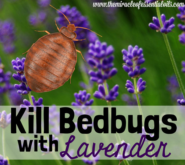 does lavender repel bed bugs? - the miracle of essential oils