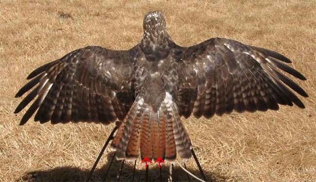 golden eagle skeleton diagram 1998 ford f150 alternator wiring the modern apprentice raptor biology deck