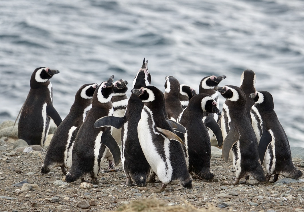 Magellanic Penguins on Magdalena Island.