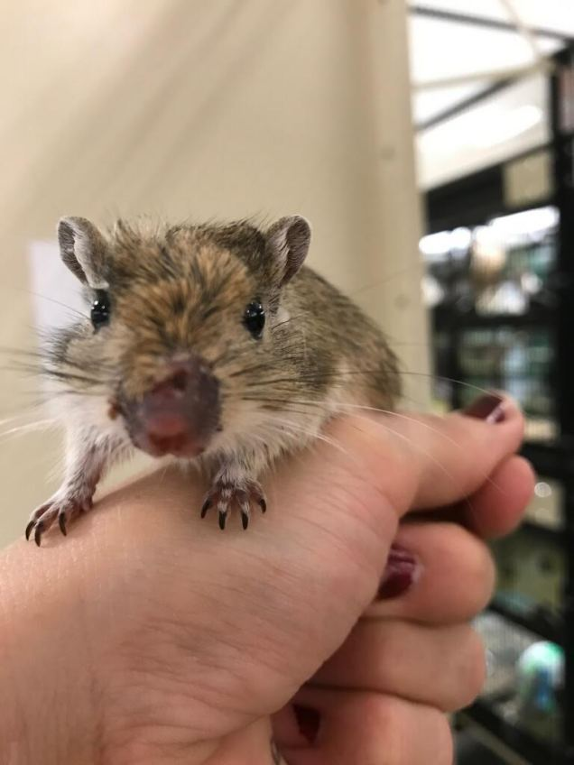 cinderella the gerbil