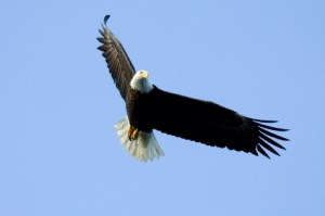 Eagle (Flying)
