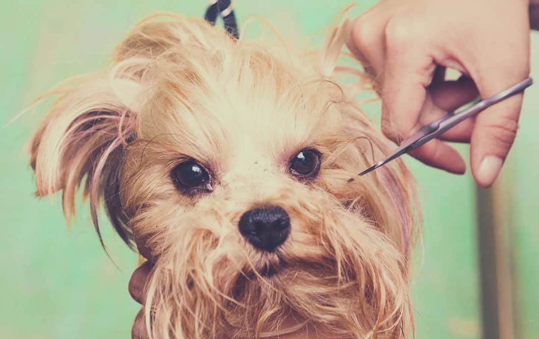 How To Groom A Morkie Dog At Home The Morkie Guide